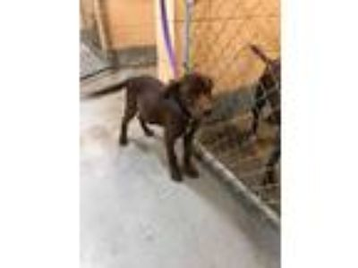 Adopt Laney a Brown/Chocolate Labrador Retriever dog in Manhattan, NY (25606084)