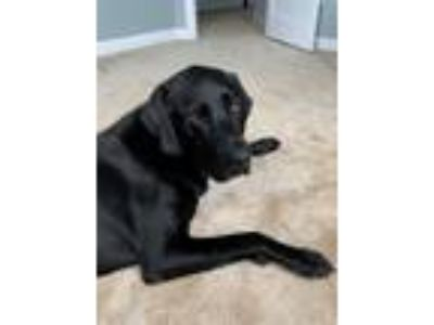 Adopt Harley a Black Labrador Retriever / Mixed dog in Purcellville