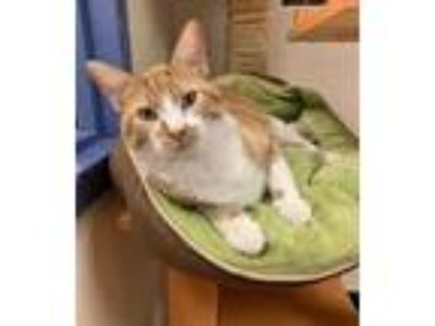 Adopt Benny a Orange or Red Domestic Shorthair / Domestic Shorthair / Mixed cat