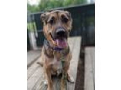 Adopt Sunny a Brown/Chocolate German Shepherd Dog / Boxer / Mixed dog in