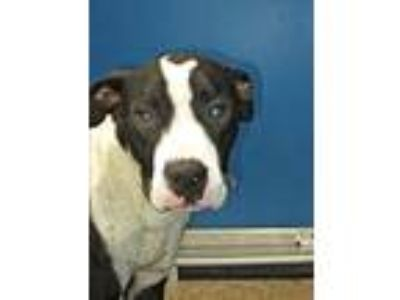 Adopt Cage 37 June 20 a Staffordshire Bull Terrier
