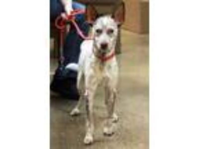 Adopt Speckles a White Basenji / Mixed dog in Waco, TX (25643518)