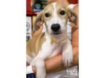 Adopt Hampton a White - with Tan, Yellow or Fawn Labrador Retriever / Shepherd