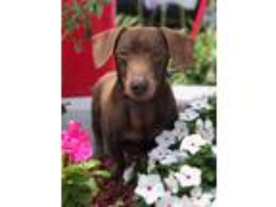 Adopt Richard a Brown/Chocolate Dachshund / Mixed dog in Culver City