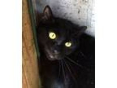 Adopt Rocket a All Black Domestic Shorthair (short coat) cat in Porter