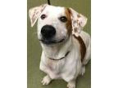 Adopt WISHBONE a White Hound (Unknown Type) / Mixed dog in San Antonio