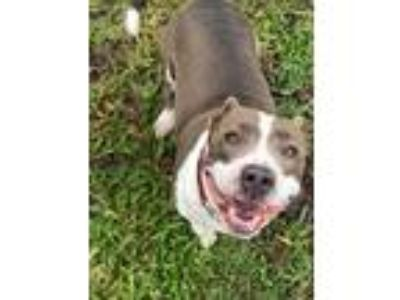 Adopt LADY a Brown/Chocolate American Pit Bull Terrier / Mixed dog in Palm