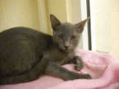 Adopt RUBY a Gray or Blue Domestic Shorthair / Mixed (short coat) cat in Vero