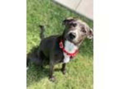 Adopt Goldfish a Blue Lacy, Mixed Breed