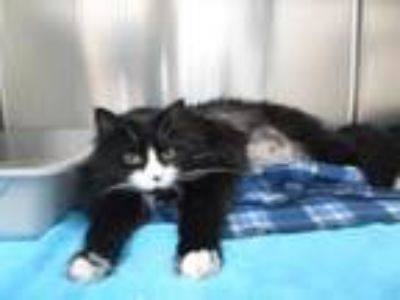 Adopt Abraham Lincoln a Domestic Long Hair