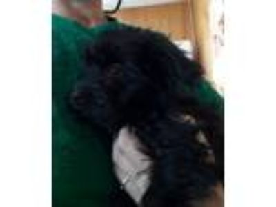 Adopt Curly a Poodle, Wire Fox Terrier