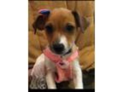 Adopt Toy Story Gang PUPPIES a Rat Terrier