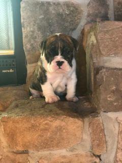 English Bulldog PUPPY FOR SALE ADN-88794 - English Bulldog Puppy for sale