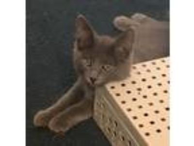 Adopt Brienne a Gray or Blue Domestic Shorthair (short coat) cat in Manahawkin
