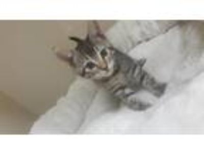Adopt Pheobe a Brown Tabby Domestic Shorthair cat in Parlier, CA (25652903)