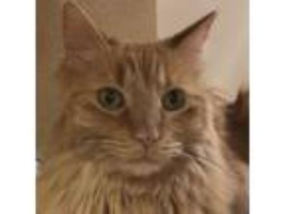 Adopt Fluffy a Orange or Red Domestic Longhair / Mixed (long coat) cat in