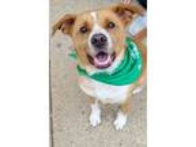 Adopt Ali a Tan/Yellow/Fawn Labrador Retriever / Mixed dog in Washington