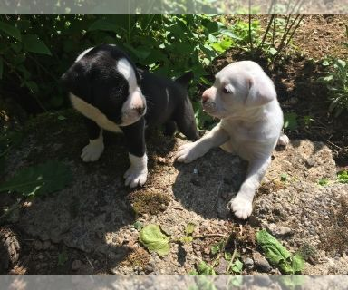Boxer PUPPY FOR SALE ADN-131012 - Boxer Puppies for Sale