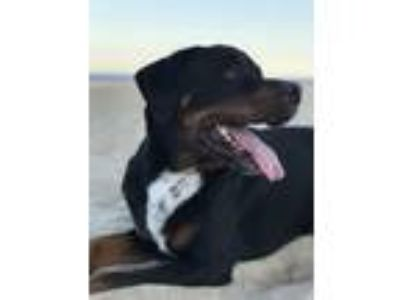 Adopt Grundy a Black - with Tan, Yellow or Fawn Rottweiler / Mixed dog in