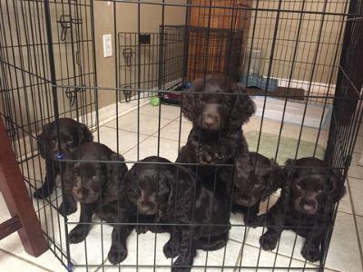 Boykin Spaniel PUPPY FOR SALE ADN-99462 - Boykin Spaniel Male Puppies BSS Registered