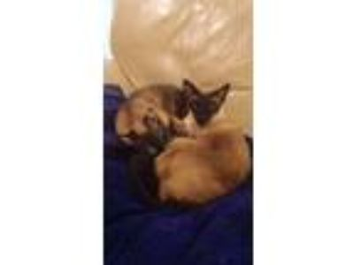 Adopt Speckles and Puff a Siamese