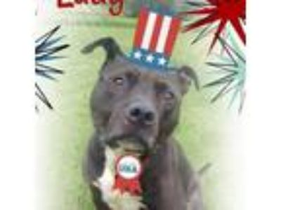 Adopt Lady a Pit Bull Terrier