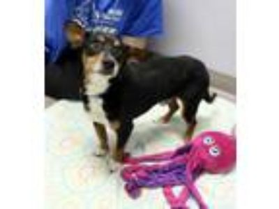 Adopt David a Black Basset Hound / Mixed dog in South Elgin, IL (25629586)