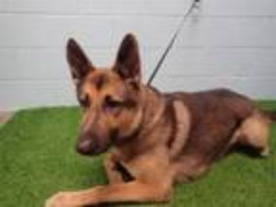 Adopt MAXIMUS a German Shepherd Dog
