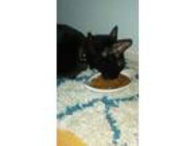 Adopt Beauty a All Black Domestic Shorthair / Mixed cat in Peoria, AZ (22942985)