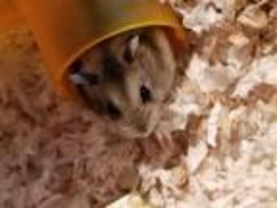 Adopt Lilac a Hamster