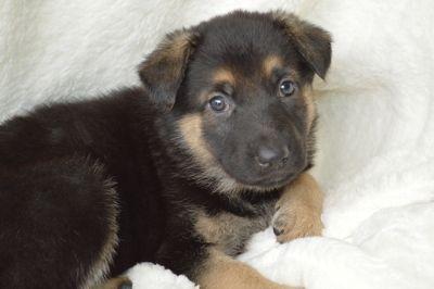German Shepherd Dog PUPPY FOR SALE ADN-70279 - Trained German Shepherd Puppies AKC