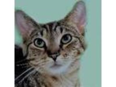Adopt Erie a Domestic Short Hair