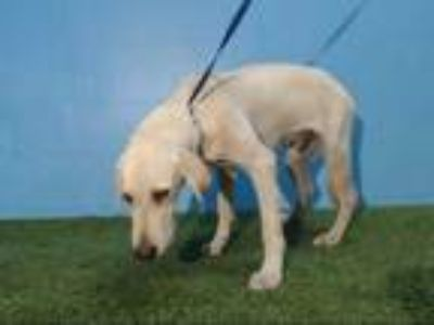 Adopt SUGAR a Tan/Yellow/Fawn Labrador Retriever / Mixed dog in Orlando