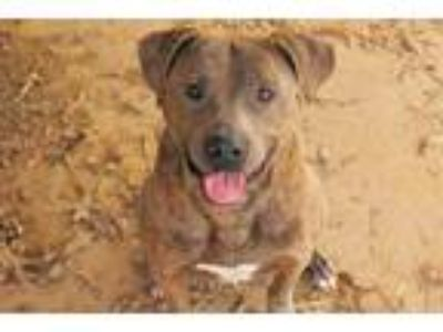 Adopt Matheo a Brindle Pit Bull Terrier / Mixed dog in Rossville, TN (12431513)