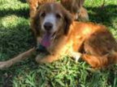 Adopt Popeye a English Springer Spaniel