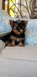 Yorkshire Terrier PUPPY FOR SALE ADN-91353 - Yorkshire terrier female