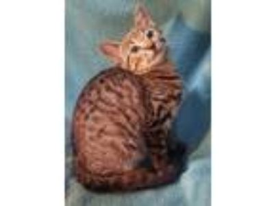 Adopt Taylor a Tiger Striped Domestic Shorthair (short coat) cat in Delray
