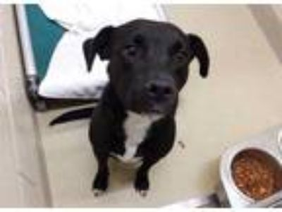 Adopt a Black - with White Labrador Retriever / Mixed dog in Chapel Hill
