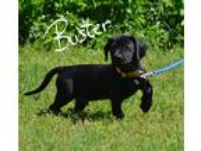 Adopt Buster a Black Corgi / Labrador Retriever / Mixed dog in Lebanon