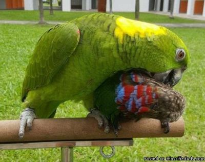 Very cuddly tamed yellow naped amazon parrots