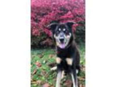 Adopt Bowser a Brown/Chocolate - with White German Shepherd Dog / Husky / Mixed