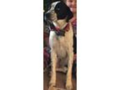 Adopt Sadie a Black - with White Spaniel (Unknown Type) / Mixed dog in Adrian