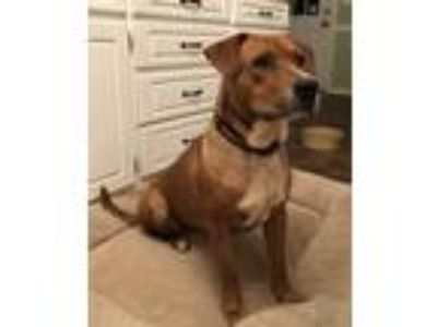 Adopt Sugar (Courtesy Post) a Brown/Chocolate Labrador Retriever / Mixed dog in
