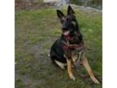 Adopt Shannon a German Shepherd Dog / Mixed dog in Quincy, MA (25827848)