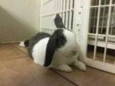 Adopt Smores a Chocolate American / American / Mixed rabbit in Clearwater