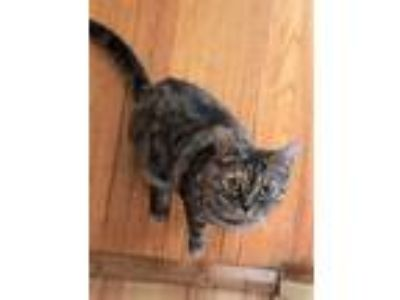 Adopt Journey a Gray or Blue Domestic Shorthair / Domestic Shorthair / Mixed cat
