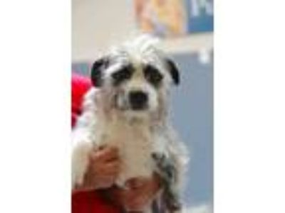 Adopt Mcintosh a Gray/Blue/Silver/Salt & Pepper Terrier (Unknown Type