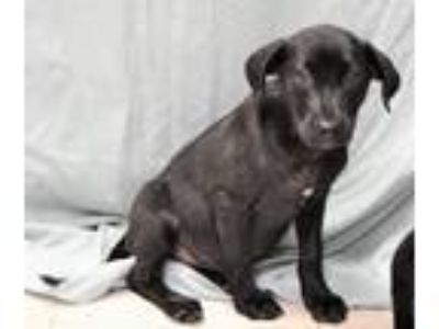 Adopt BOB AND BO a Black Labrador Retriever / Flat-Coated Retriever / Mixed dog