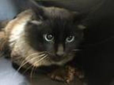 Adopt JAMESON a Ragdoll, Domestic Short Hair