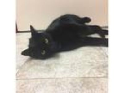 Adopt Poof a All Black Domestic Shorthair (short coat) cat in Richboro